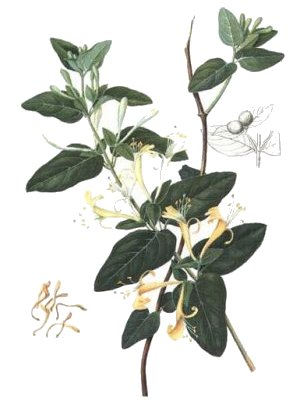 Jin Yin Hua - Honeysuckle - a Chinese Herb